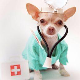 Chihuahua liigeste haigused Liigeste ja luude maiustused