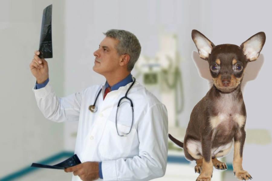 Chihuahua liigeste haigused Vitamiin valu liigestes