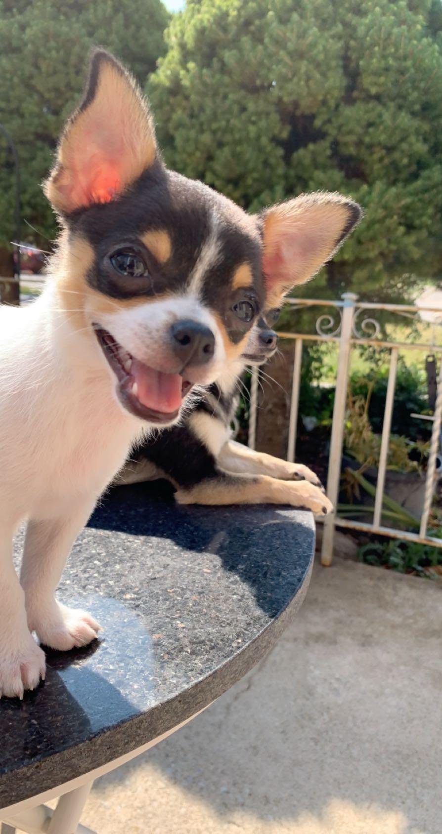 Chihuahua tobi