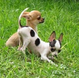 Chihuahua liigeste haigused Ekslemine valu liigesed